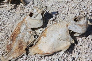 Fish Carcasses at the Salton Sea