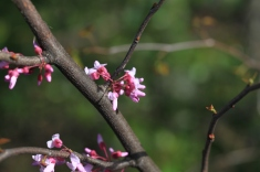 Appalachian redbuds in bloom