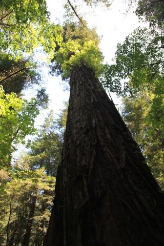 Parson Jones Redwood