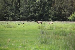 Elk near Fern Canyon