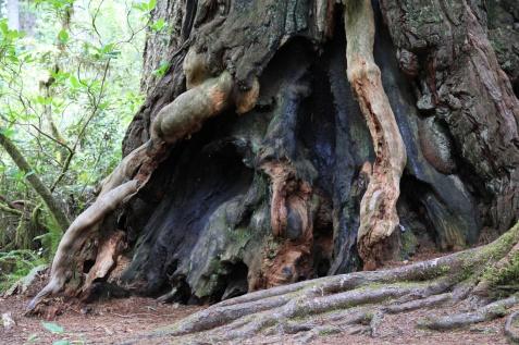 Lady Bird Johnson Grove, Redwood N.P.