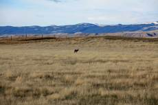 Grazing antelope near Buffalo, WY