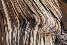 Detail of Ancient Bristlecone Pine