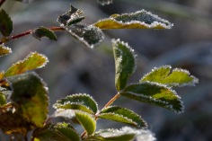 Frost on leaves, Taylor Creek