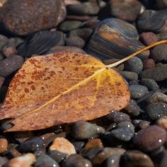 Leaf in Lake Tahoe