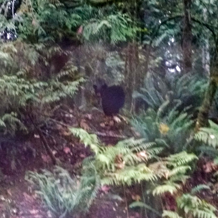 Black bear retreating from the road into the woods