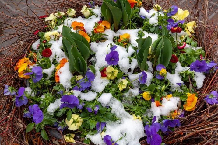 Snowy pansies.